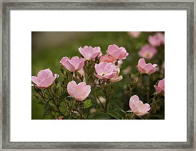 Small Pink Roses In Garden Framed Print by M K  Miller