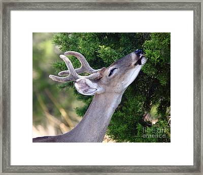 Smell Of Cedar In The Morning Framed Print by Robert Frederick