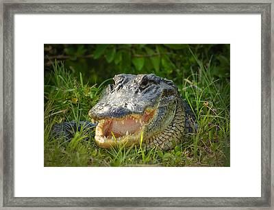 Smiling Alligator Framed Print by Rich Leighton