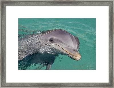 Smiling Atlantic Bottlenose Dolphin Framed Print by Dave Fleetham