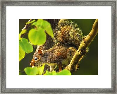Snaggletooth Squirrel In Tree Framed Print by Bill Tiepelman