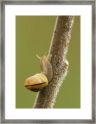 Snail In Dew Framed Print by Mircea Costina Photography