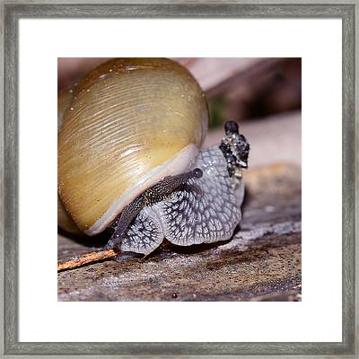 Snail Framed Print by Michelle Armstrong