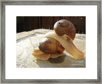 Snails 17 Framed Print by AmaS Art