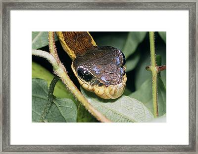 Snake Mimic Hawkmoth Caterpillar Framed Print