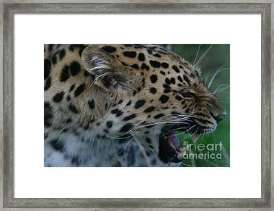 Snarling Leopard Framed Print by Carol Wright