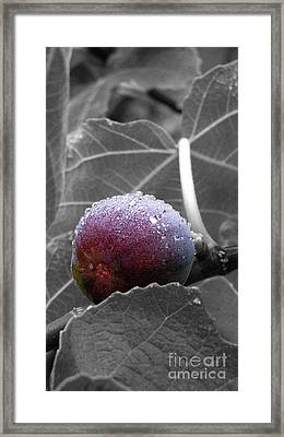 Sneaky Fig Black And White Framed Print