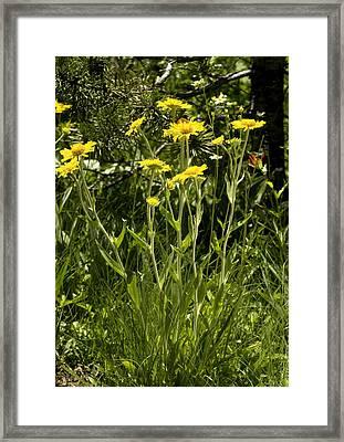 Sneezeweed (dugaldia Hoopesii) Framed Print