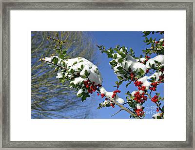 Snow Berrys Framed Print