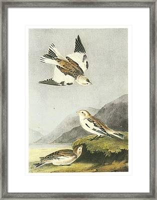 Snow Bunting Framed Print