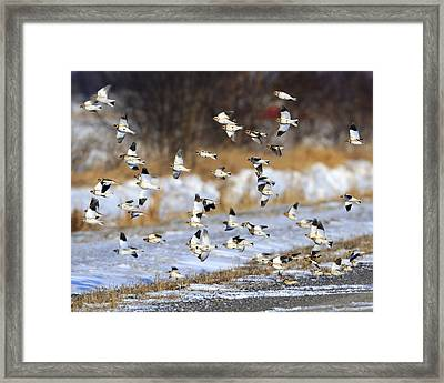 Snow Buntings Framed Print by Tony Beck