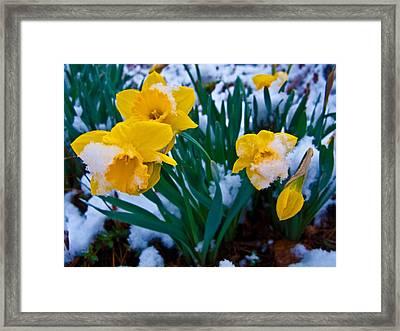 Snow Covered Daffodil Flower Framed Print by ilendra Vyas
