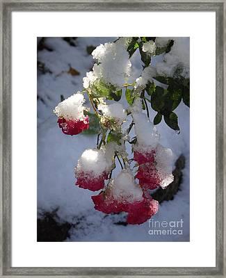 Snow Covered Roses Framed Print