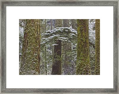 Snow Covered Trees In Cathedral Grove Framed Print by Robert Postma