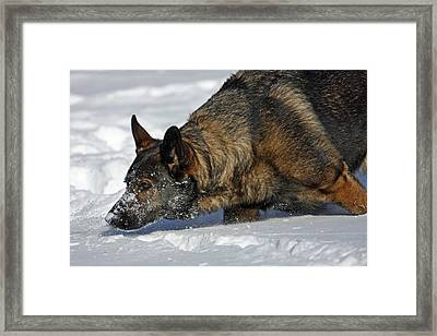 Snow Dog Framed Print by Karol Livote