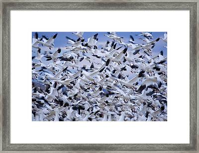 Snow Geese Chen Caerulescens Fly Framed Print by Ralph Lee Hopkins