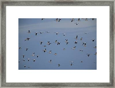 Snow Geese In Flight Framed Print by George Grall