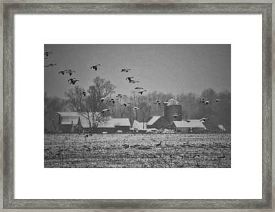 Framed Print featuring the photograph Snow Geese by Kelly Reber