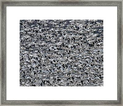 Snow Geese Takeoff Framed Print