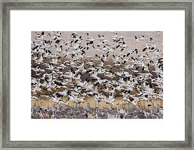 Snow Geese Taking Flight With Sandhill Framed Print by Sebastian Kennerknecht