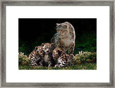 Snow Leopard And Cubs Framed Print by Julie L Hoddinott