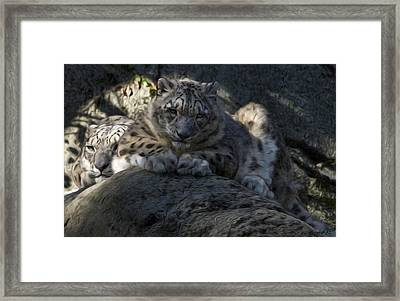 Snow Leopard Duo Framed Print