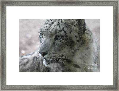Snow Leopard Profile Framed Print by Chris Hill