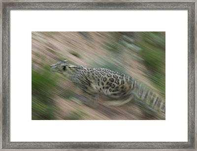 Snow Leopard Uncia Uncia Running Framed Print by Cyril Ruoso