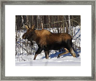 Framed Print featuring the photograph Snow Moose by Doug Lloyd