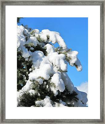 Snow On Pine Pack Framed Print by Phyllis Kaltenbach