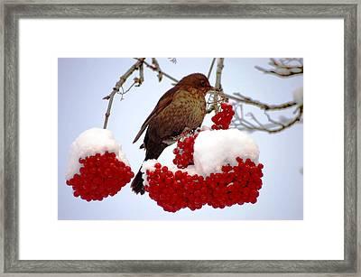 Snow On Rowan Berries Framed Print by Meeli Sonn