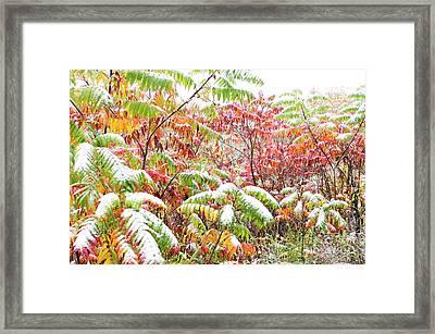 Snow On Sumac  Framed Print