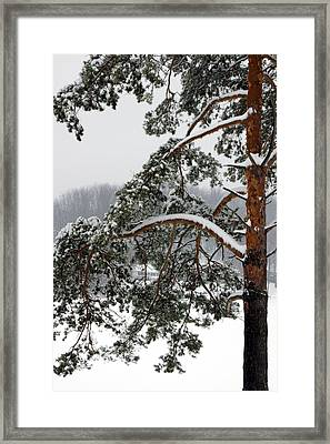 Framed Print featuring the photograph Snow Pine by Michelle Joseph-Long