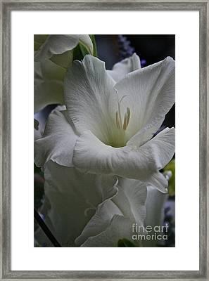 Snow White Glads Framed Print by Susan Herber