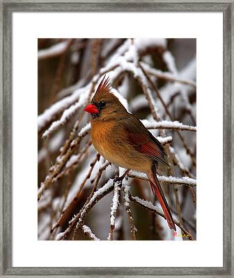 Framed Print featuring the photograph Snowbirds--cardinal Dsb025 by Gerry Gantt