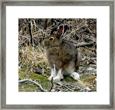 Snowshoe Hare Framed Print by Mark Caldwell