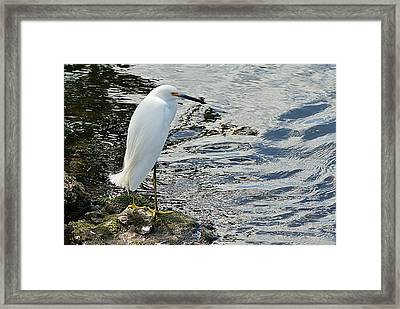 Snowy Egret 2 Framed Print by Joe Faherty