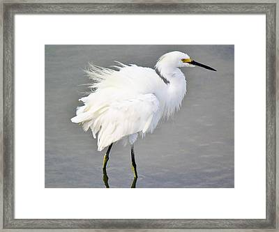 Snowy Egret All Fluffed Up Framed Print by Paulette Thomas