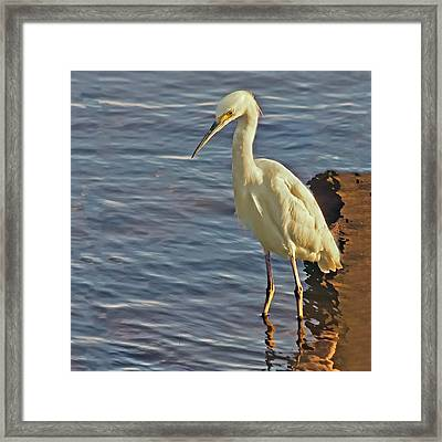 Snowy Egret At Sunrise Framed Print by Sandra Anderson