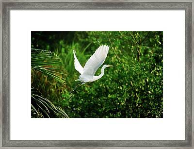 Snowy Egret Bird Framed Print by Shahnewaz Karim