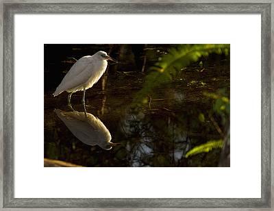 Snowy Egret, Florida Framed Print