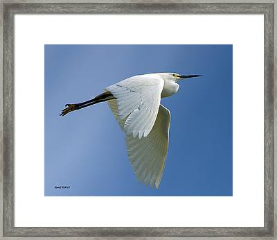 Snowy Egret Fly-by Framed Print