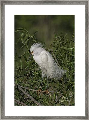 Snowy Egret In Breeding Plumage Framed Print