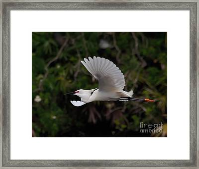 Snowy Egret In Flight Framed Print