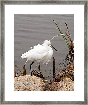 Snowy Egret Framed Print by Kay Lovingood