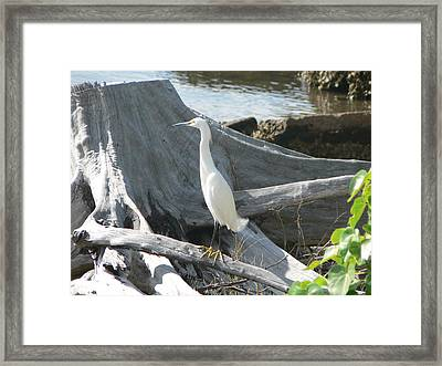 Framed Print featuring the photograph Snowy Egret by Laurel Best