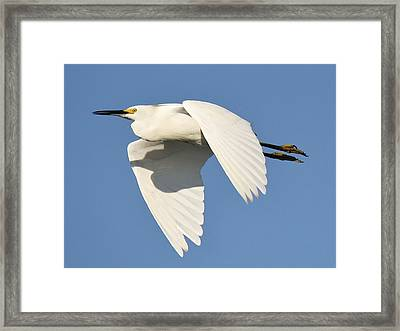 Snowy Egret Framed Print by Paulette Thomas