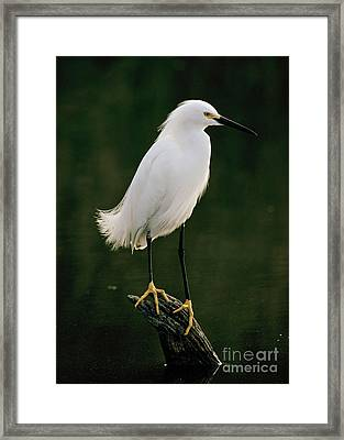Framed Print featuring the photograph Snowy Egret Portrait by Doug Herr