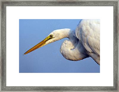 Framed Print featuring the photograph Snowy Egret Ready by Darleen Stry