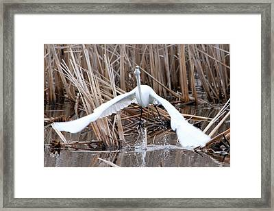 Framed Print featuring the photograph Snowy Egret Takeoff by Mark J Seefeldt